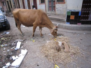 Speaking of dodging cows in the street, today on my way home I dodged both a cow AND a litter of puppies playing in the straw.