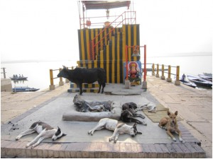 Dogs and a cow lounging by a temple on the ghats in the morning