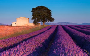 Lavender field, Provence. Retrieved from Ibellhop Blog